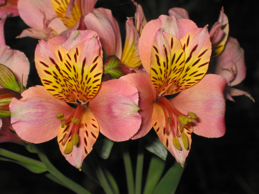 Redwood barn nursery ten easy perennials peruvian lilies are great cut flowers easy to grow in sun or partial shade which spread steadily but slowly mightylinksfo