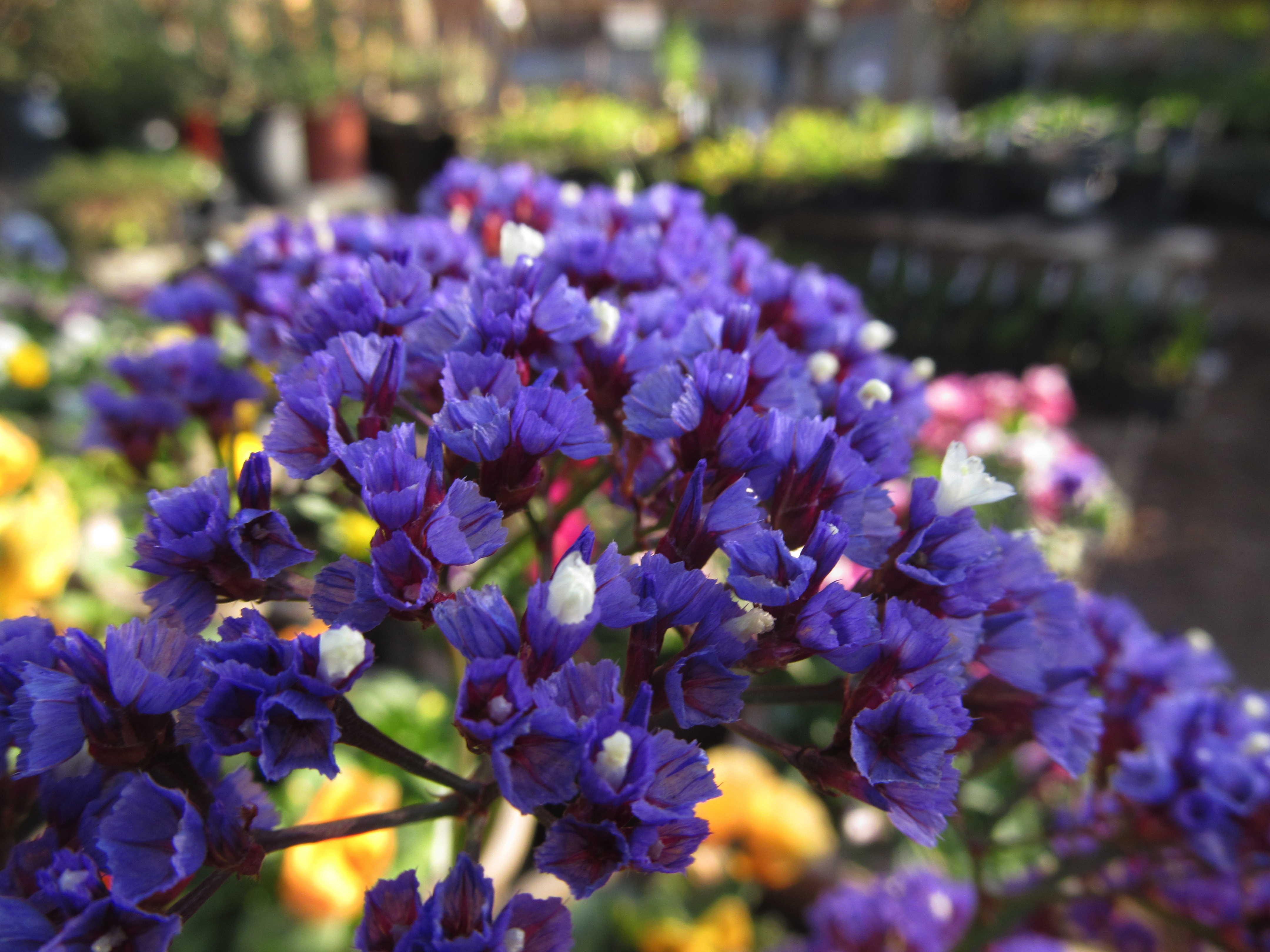 Сухоцветы статица выращивание 11