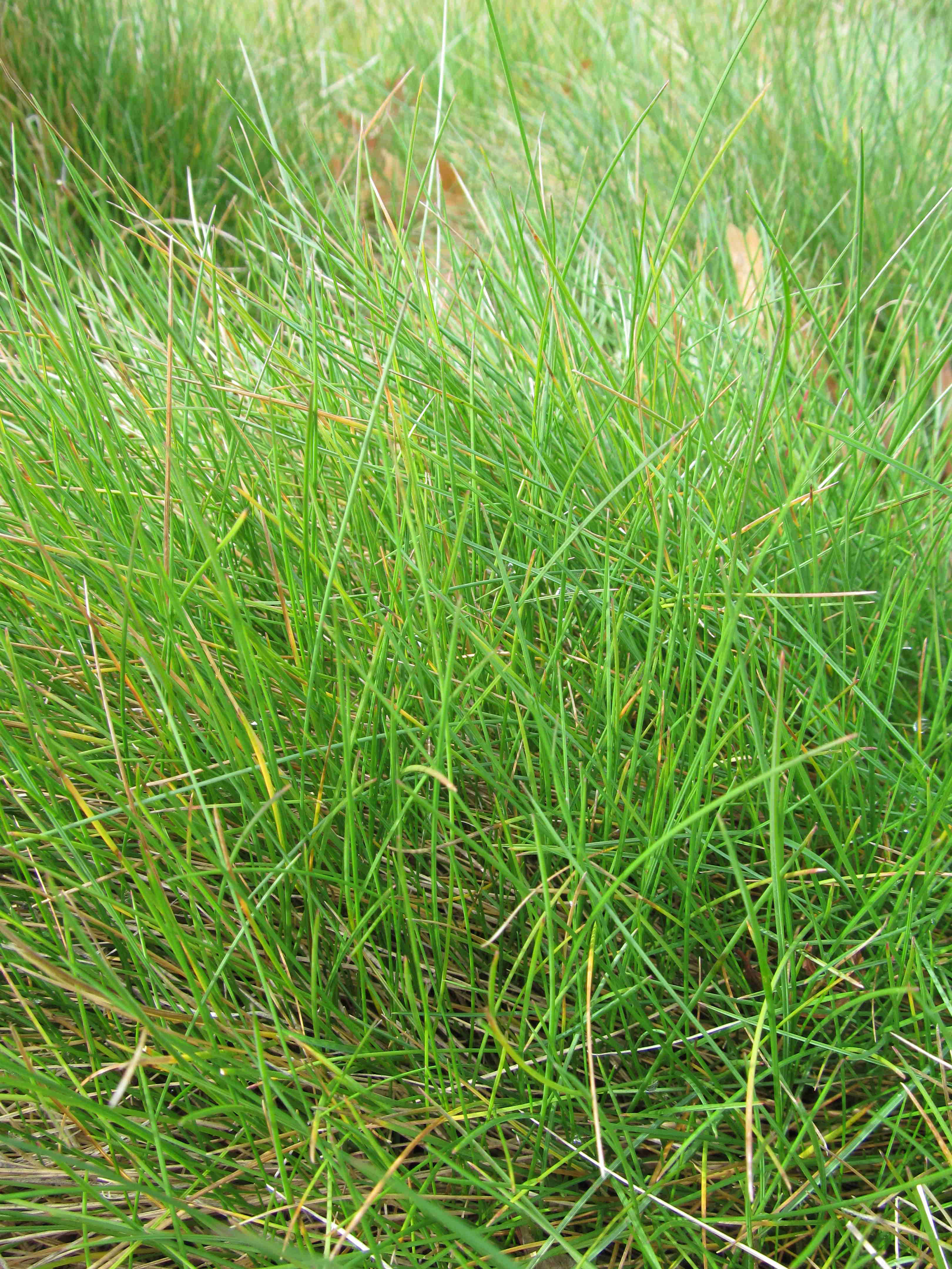 Low water lawn ideas for Tall red grass