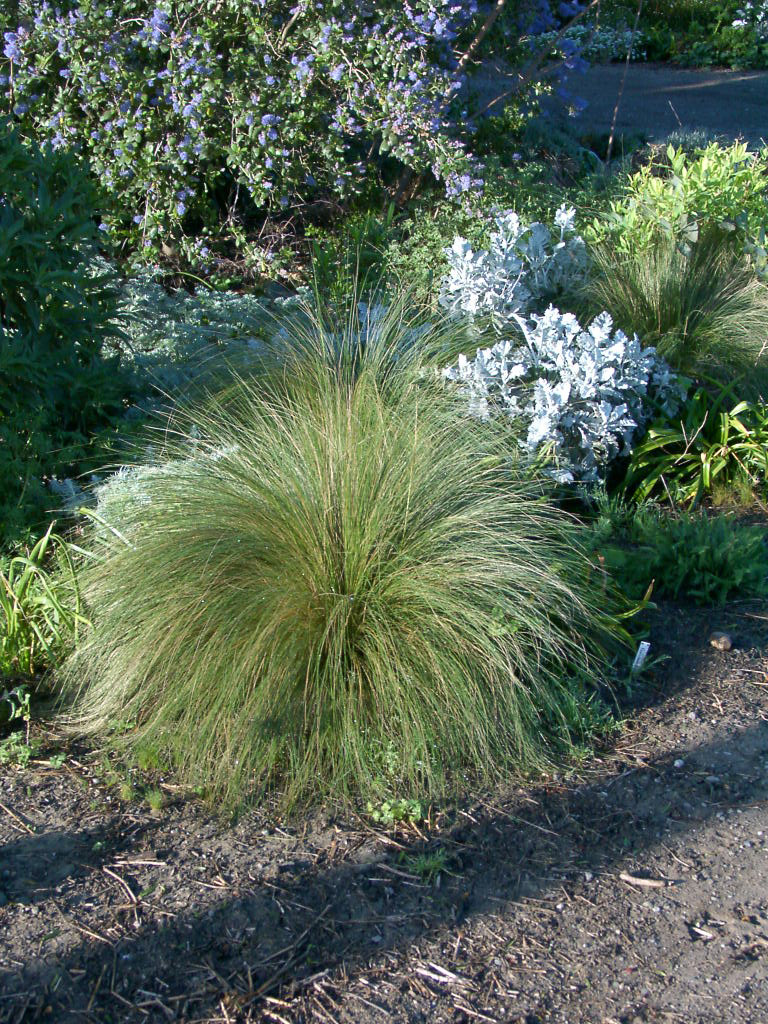Low Growing Ornamental Grass Redwood barn nursery rethinking lawns the individual blades are rounder and much narrower than other grass species you may already have these grasses in your lawn as they are often added to workwithnaturefo