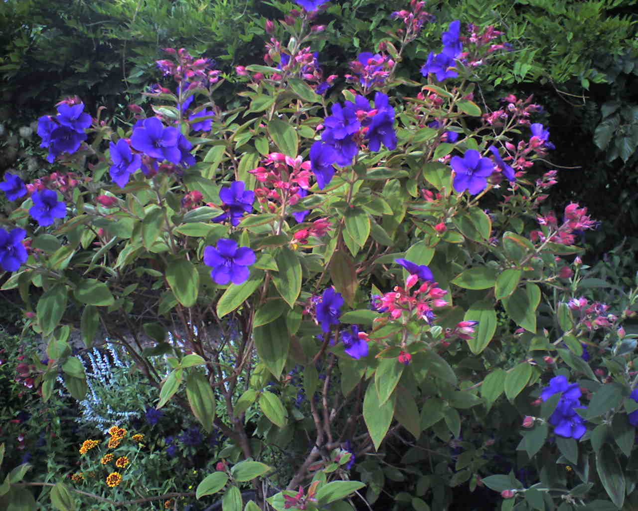 Shrubs with purple flowers pictures - We Get Questions