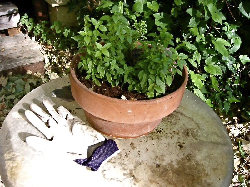 how to take care of basil plant in summer