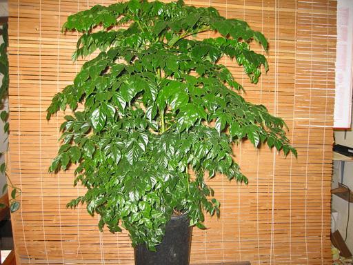 Coffee tree, Threadleaf false aralia, China doll, Ming aralia