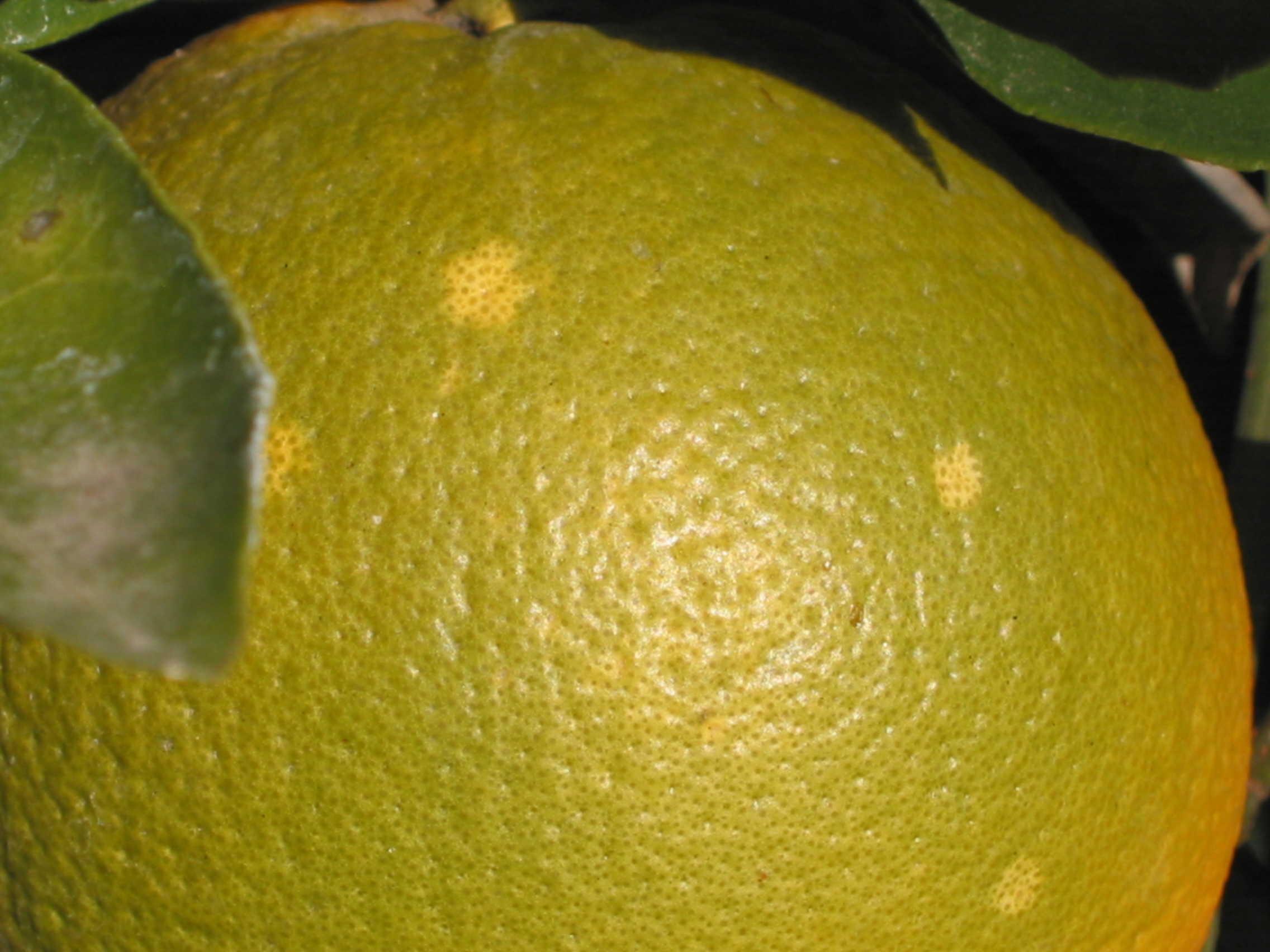 Citrus Problems