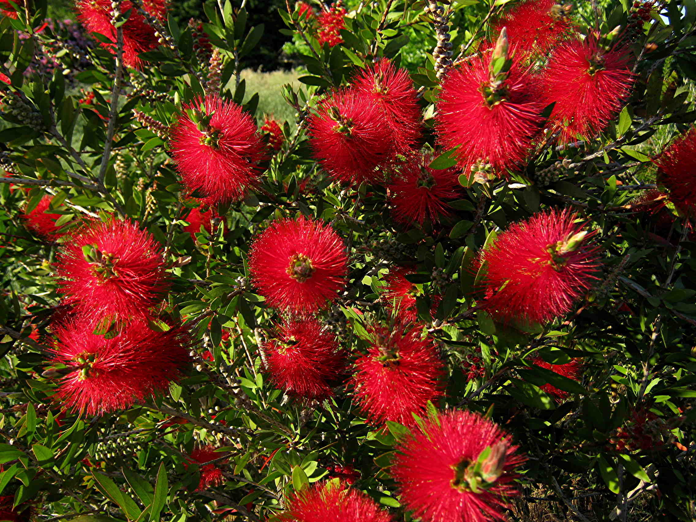 Flower bushes that bloom in winter - Some Plants Usually Grown As Trees Can Be Grown And Pruned As Shrubs