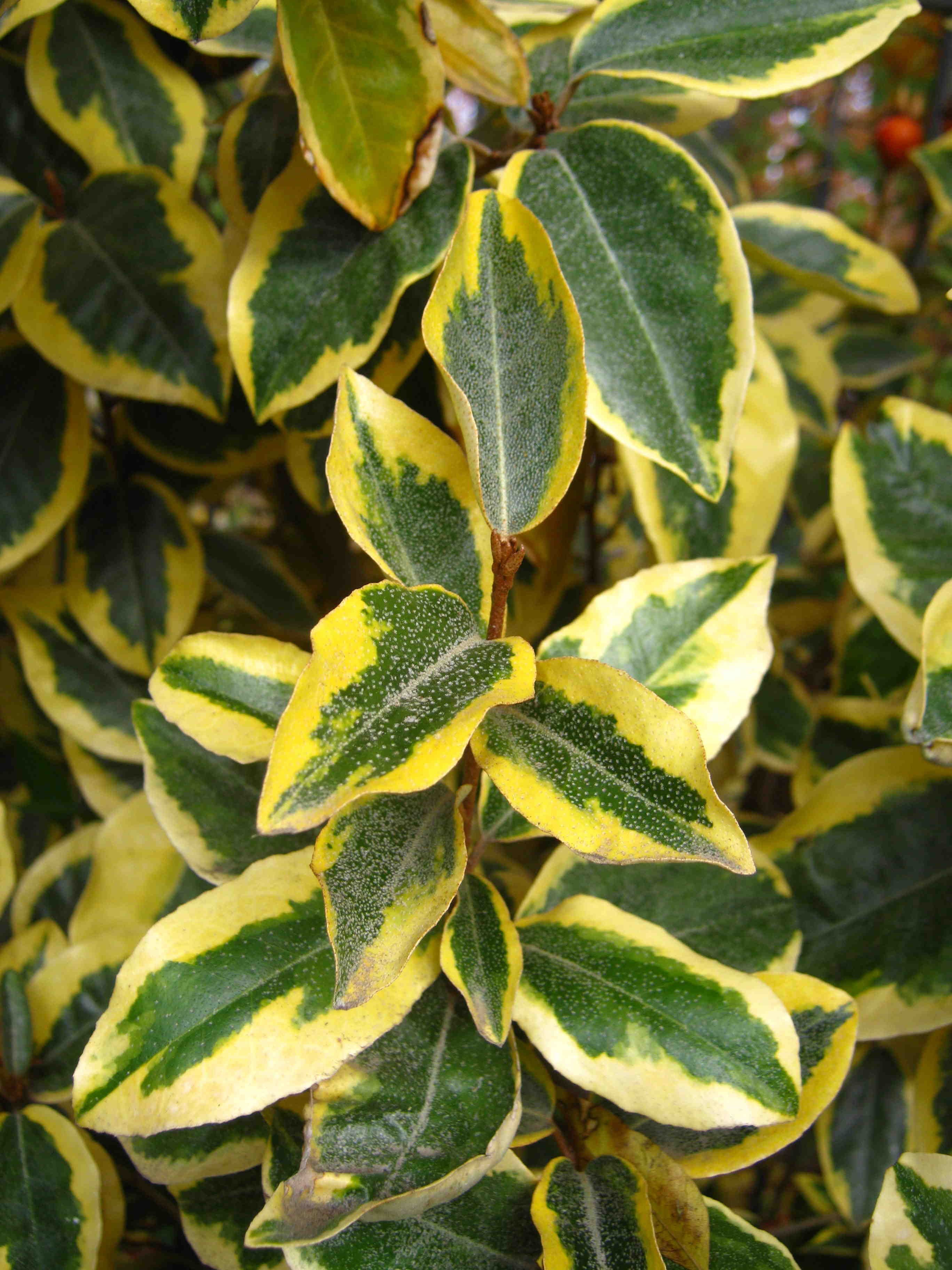 Shrubs For Reduced Water Use