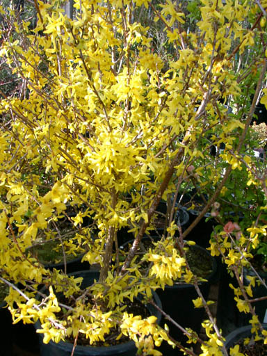 Redwood barn nursery deciduous flowering shrubs people from colder climates know this as the harbinger of spring with its brilliant golden yellow flowers this is a big rangy shrub with medium green mightylinksfo