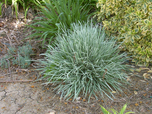 Ornamental grasses clumping plants 100 images for Small ornamental grasses
