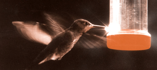 Annas Hummingbird at feeder