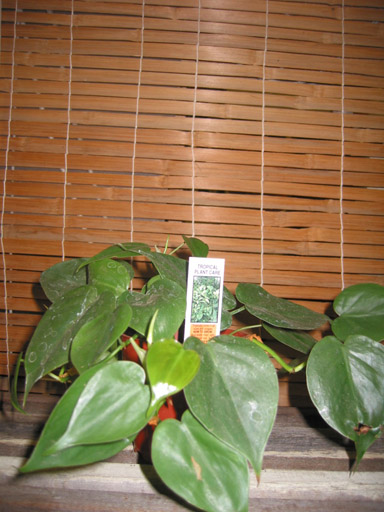 excellent long vine house plant. Philodendron cordatum  Heartleaf philodendron and Nephthytis Butterfly vine are similar House plant table