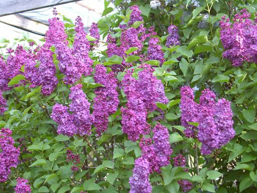 Redwood barn nursery deciduous flowering shrubs - Blooming shrubs ...