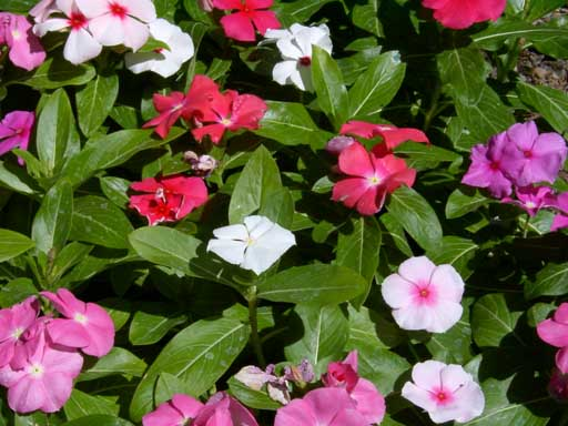 Vinca rosea for Plantas decorativas resistentes