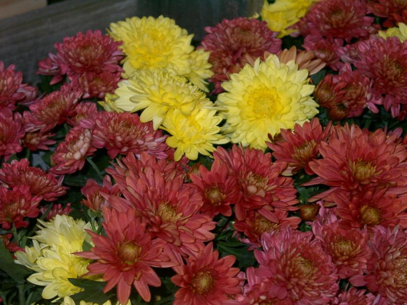 chrysanthemum x morifolium - photo #2