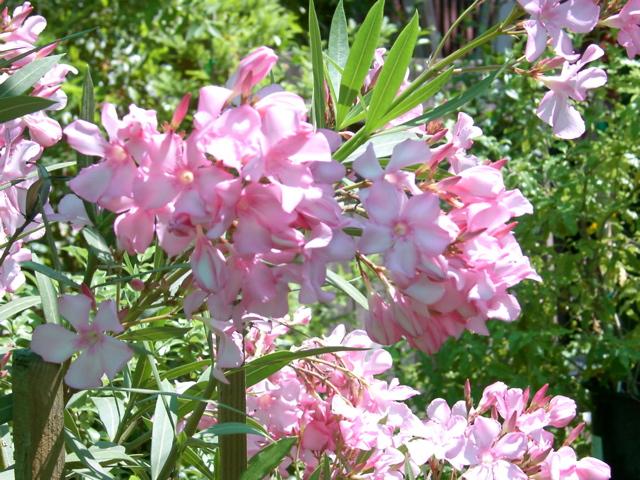 http://redwoodbarn.com/shrubs/shrubs-Images/76.jpg